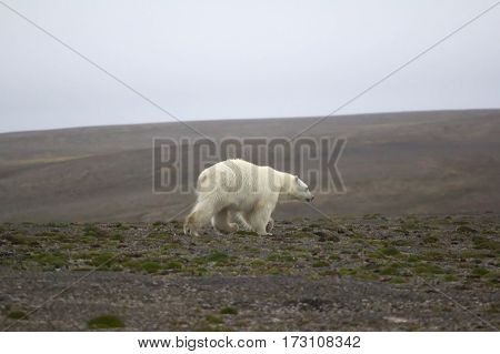 Adult polar bear (Ursus maritimus) roams in Arctic desert in search of food. Novaya Zemlya archipelago