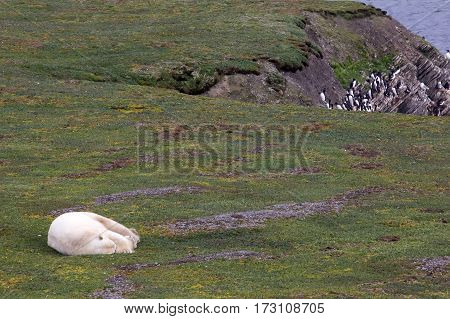 The Owner Of The Arctic: Polar Bear, Which Happily Sleeping In Open Tundra