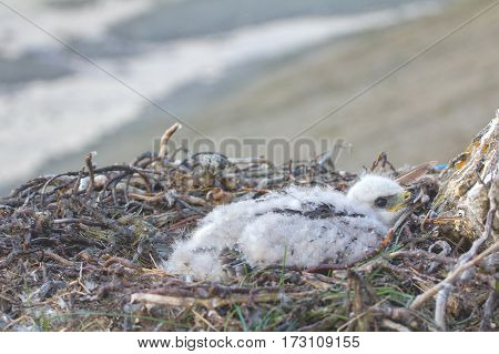 rough-legged Buzzard chick in nest on cliff on tundra river. Only one chick points to fact that lemmings in tundra relatively small number
