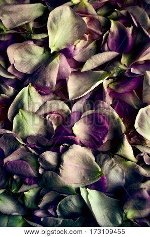 fresh petals rose. Flower petals on textured background for romantic design