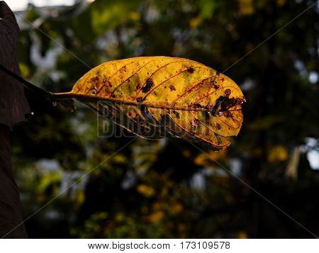 The yellow dry leaf in the garden.