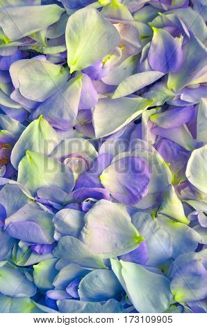 fresh petals rose. Flower background lilac style