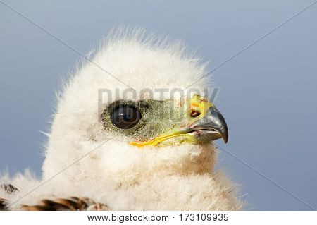 Portrait of young predator. Rough-legged Buzzard at age of one and half - two weeks portrait half-turned