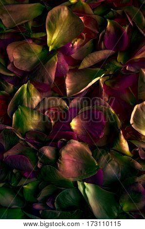 fresh petals rose. Flower background. Dramatic emotion