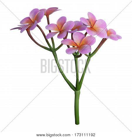 3D Rendering Plumeria Flowers On White