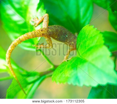 Tropical House Gecko on green leaf. Kerala