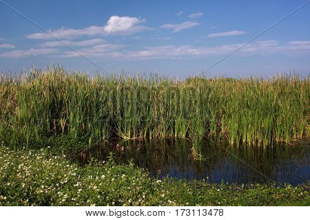 Peaceful wetland pond and cattails in a Florida wetlands and marsh on a sunny spring day