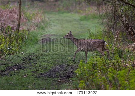 photograph of a Sika deer crossing a path in the forest