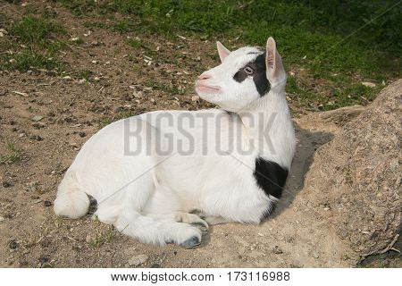 Portrait of Baby dwarf goat looking up
