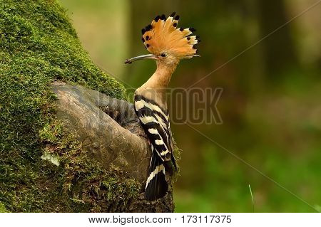 Hoopoe brought food to feed the chicks in the cavity