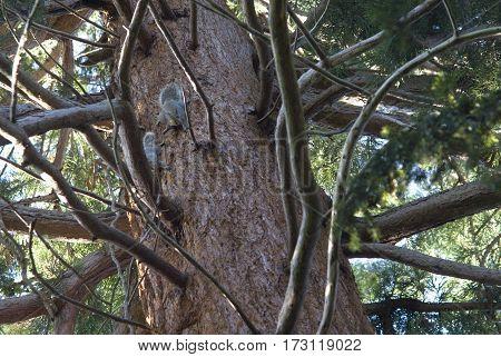 Looking Up Red Bark Trunk Douglass Fir Tree Where two Grey Squirrels (Sciurus Carolinensis) Play & Fight, England UK