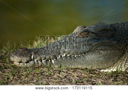 Alligator resting by the swamp, close-up head shot