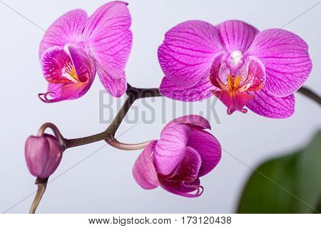 Pink streaked orchid flower isolated on a whit background