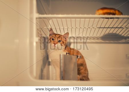 Little red kitten sitting in the fridge and a croissant and an iron flask. Drunk sad kitten