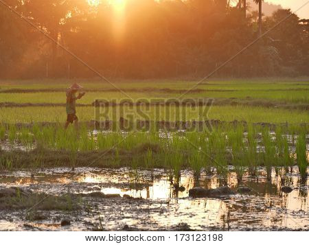 February 2017, hpa-an myanmar - young asian boy with hat walking in a rice field with a small pond during sunset hours
