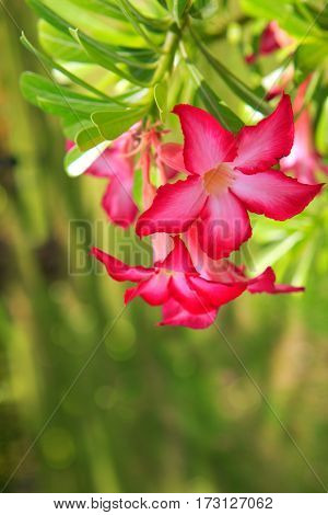Desert rose flower from tropical climate.Flowers background.
