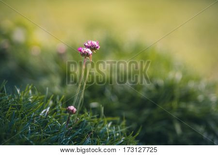 Tiny pink flowers growing from the grass in a garden.