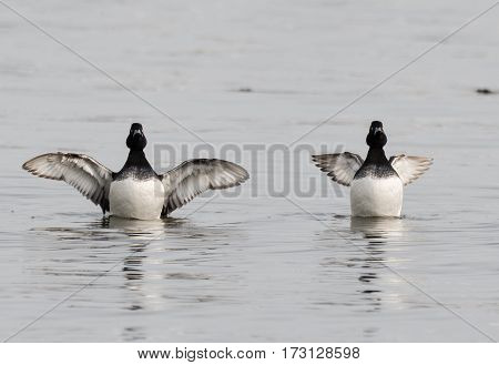 Tufted ducks (Aythya fuligula) with wings spread. Long-winged and short-winged forms of a small diving duck showing black and white plumage