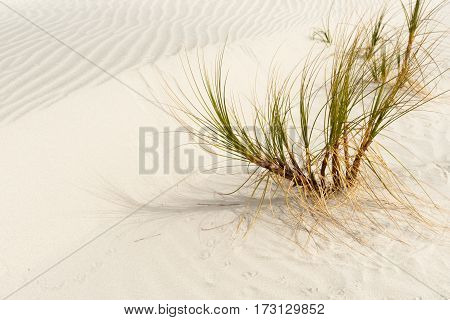Sedge grass plant in windswept  sand dunes