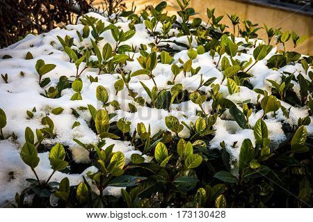 Bushes In Snow - Snow In Athens - Rare And Unique Event