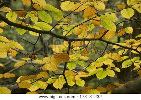 Autumn Beech tree leaves turned golden yellow baclit by gentle sunlight, Peak District, Derbyshire, UK