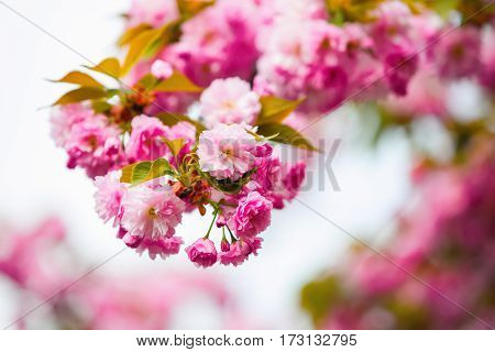 Large fluffy magical bouquets of pink sakura with green and yellow leaves against blue sky background