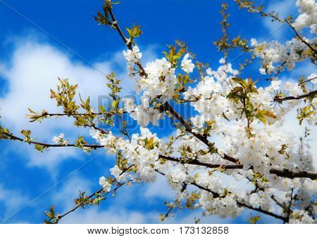 Cherry blossoms low angle view against sunny cloudy sky