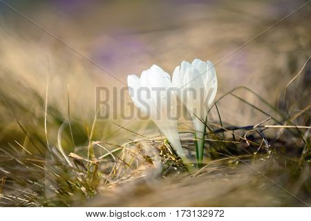 Among dried yellow grass grows lonely incredibly beautiful albino white crocus and pleases the human eye.