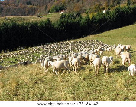 flock with many sheep with long white fleece grazing on mountain meadows