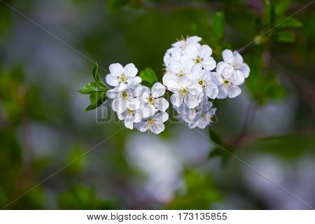 Charming dreamy single branch with white blossoms on a gray background.