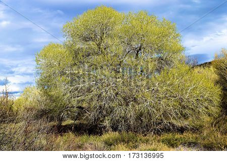 Cottonwood Tree with leaf buds during spring taken in a rural riparian field