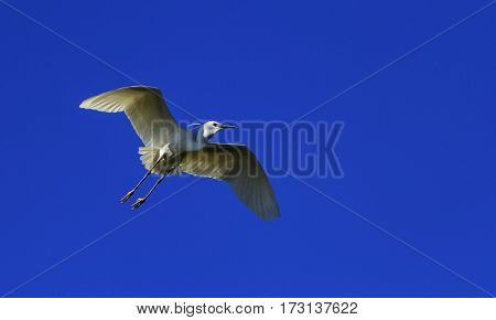 Little egret, egretta garzetta flying in deep blue sky