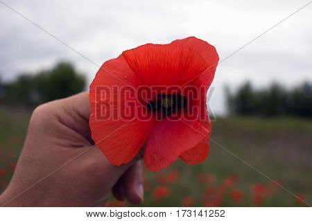 wild poppy flower in the hand of man. Remembrance Day.