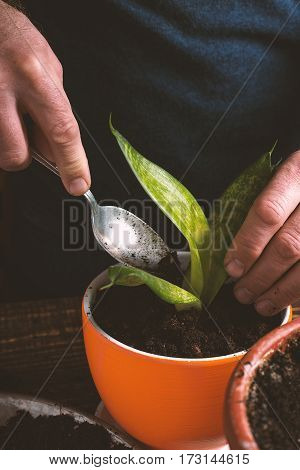 Man plants indoor flower in orange pot side view vertical