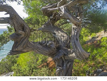 Twisted trunk of an old relict juniper tree. Crimea.