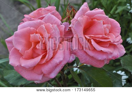 Beautiful roses growing in the flower bed