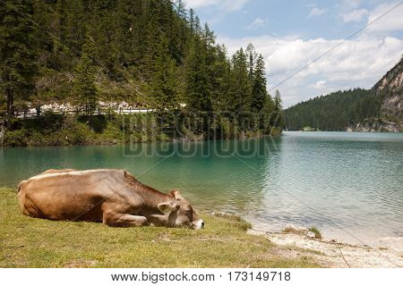Cow sleep near lake Pragser Wildsee in Italy Alps