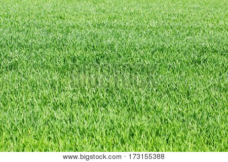 Green grass rye wheat field meadow pasture background as spring awekening and plant growth concept
