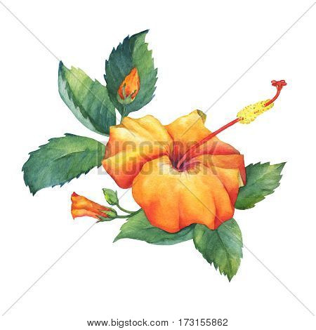 Orange Hibiscus flower. Hand drawn watercolor painting on white background.