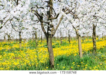Spring blossom in white flower budding orchard background on beautiful green grass and yellow blooming dandelion meadow