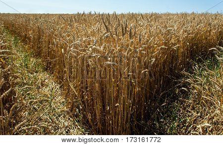 Ripe Ear Of Corn On The Field