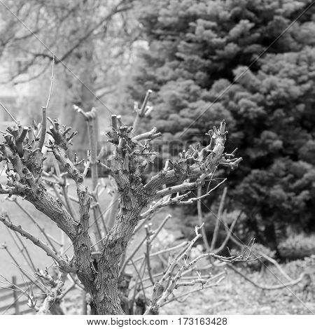 Heavily Pruned Small Tree Shrub Cut Back Bush