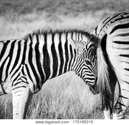Young baby zebra searching for comfort and security by snuggling with its mothers tail. Etosha National Park, Namibia.