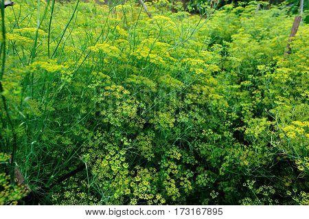 Fennel (Foeniculum vulgare) in growth at garden