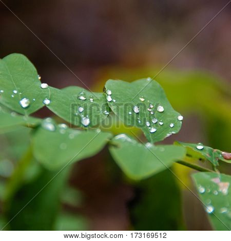 Delicate droplets on leaves, macro, dew on morning