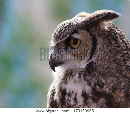 A profile of a Great Horned Owl with its