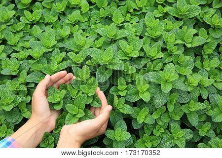 hands protect organic mint plants in garden
