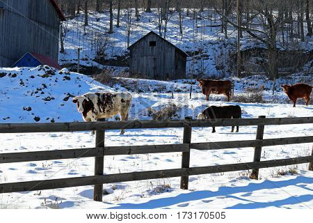 A bull and other cattle behind a fence with multiple buildings.
