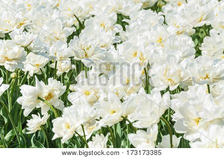 Terry white tulips in a flower nursery. Background