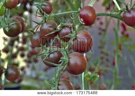 branch of fresh chocolate tomatoes Solanum lycopersicum